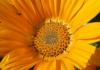 Blüte gelb 1